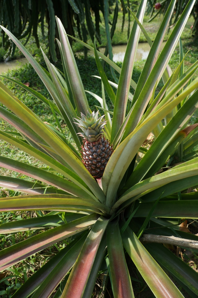 Pineapple growing in fruit orchard in Mekong Delta.