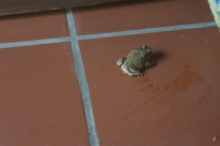The  frog that decided to make my shoe h's new home.