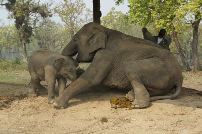 Watching an adorable 6 month old baby elephant with its mother at the Elephant Breeding Center