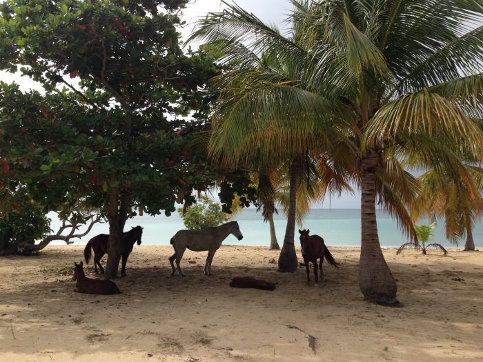 The beach is the stomping ground for the wild horses on Vieques Island