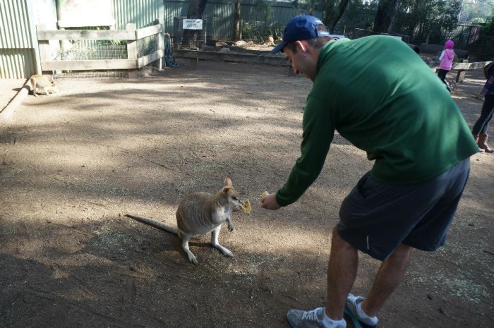 Drew feeding a wallaby which are slightly smaller than a kangaroo.