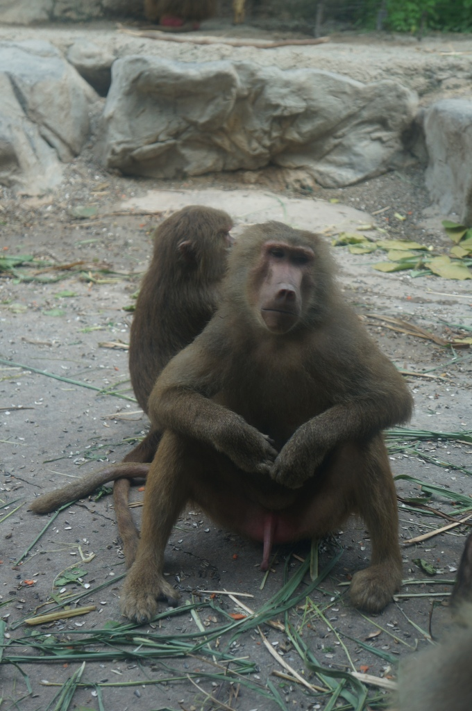 I think this baboon was happy to see us...