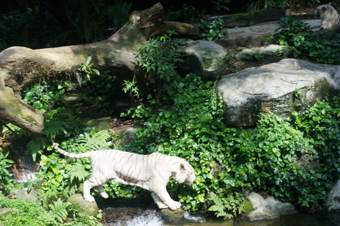 Did you know all tigers are Asian? They are not native to Africa. We couldn't get enough of this white tiger!