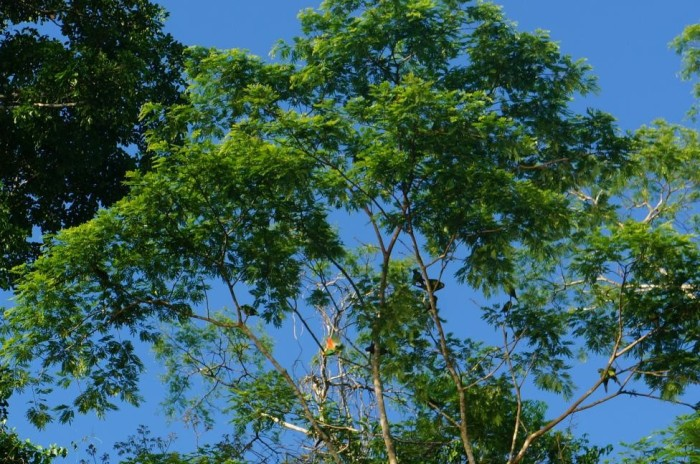 The green macaws blend in really well with the tree canopy. If you look close, you can spot a few though.