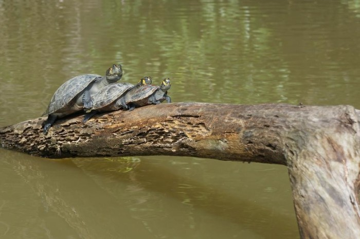 Family of turtles basking in the sun and working on their tan!