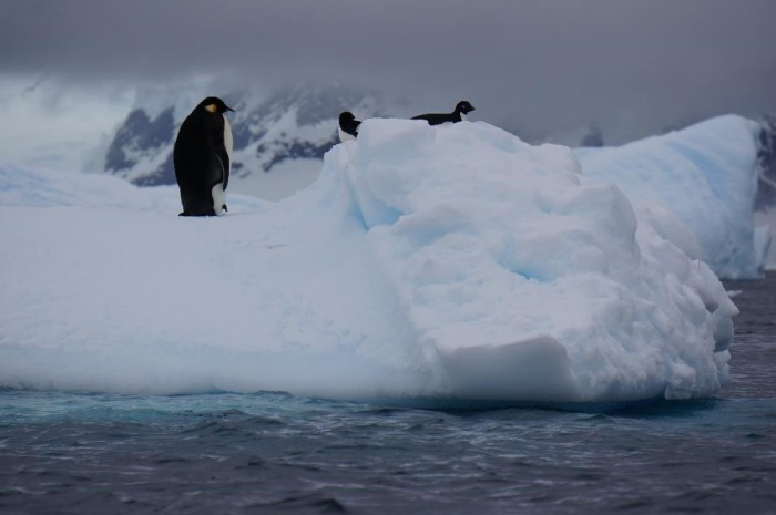 The biggest surprise of our trip, the emperor penguin, hanging out with two adelie penguins.