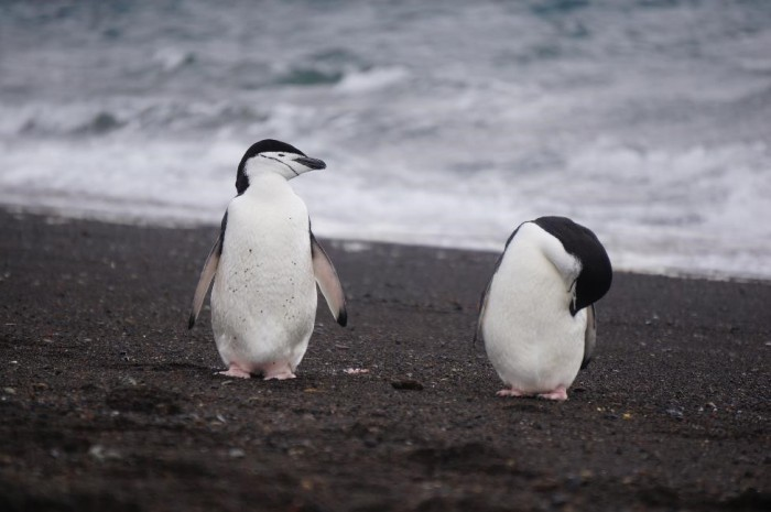My personal favorite, the chinstrap penguins!